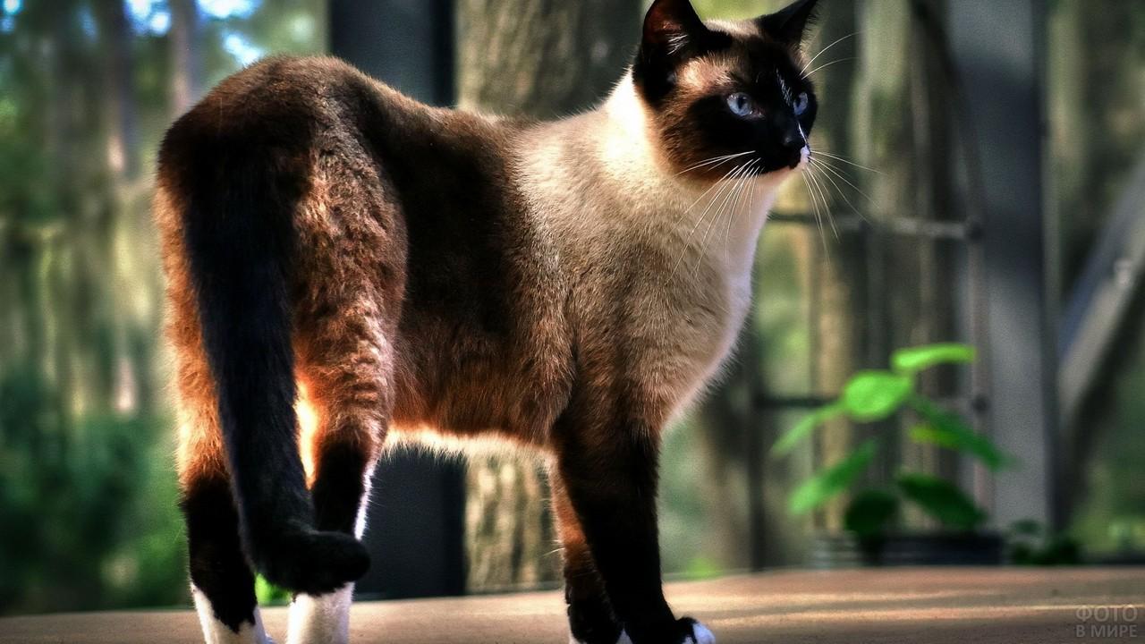 Гладкошёрстная бирманская кошка на веранде