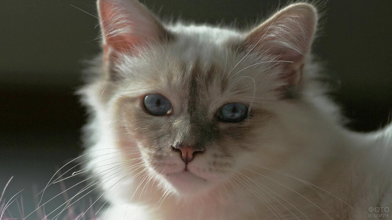 Милый кот с голубыми глазами