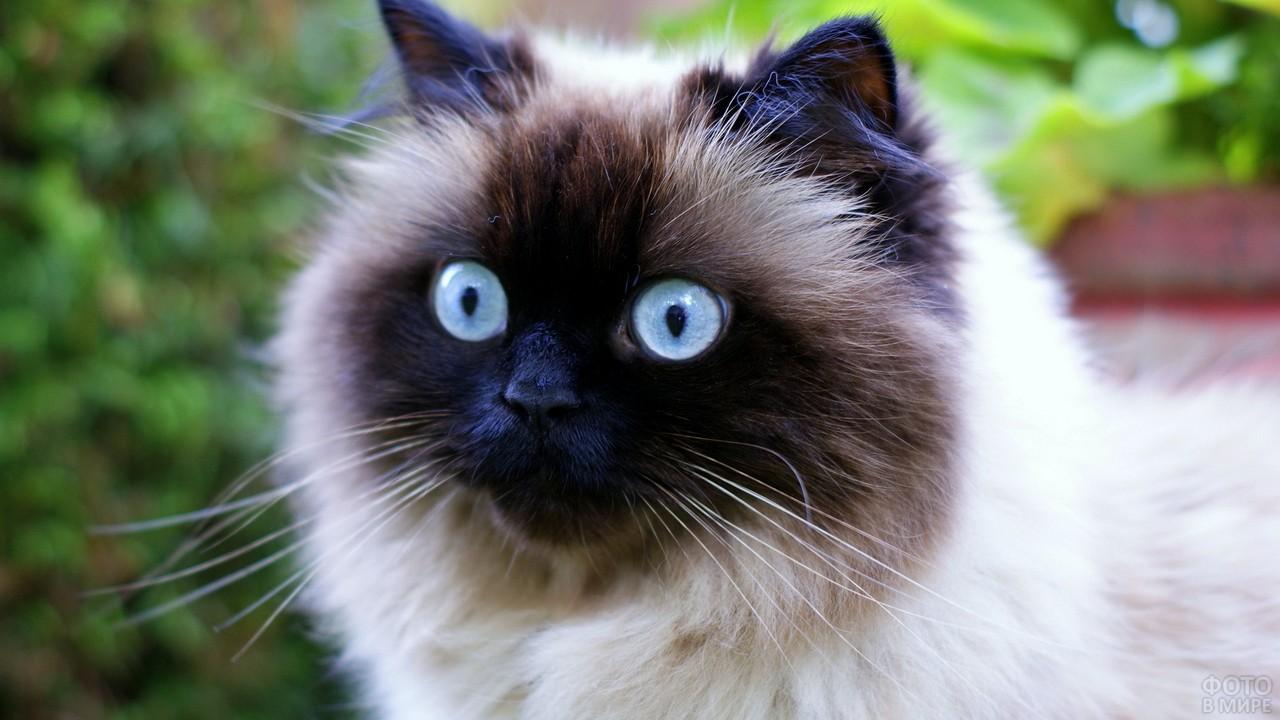 Мордочка кошки с окрасом сил-пойнт