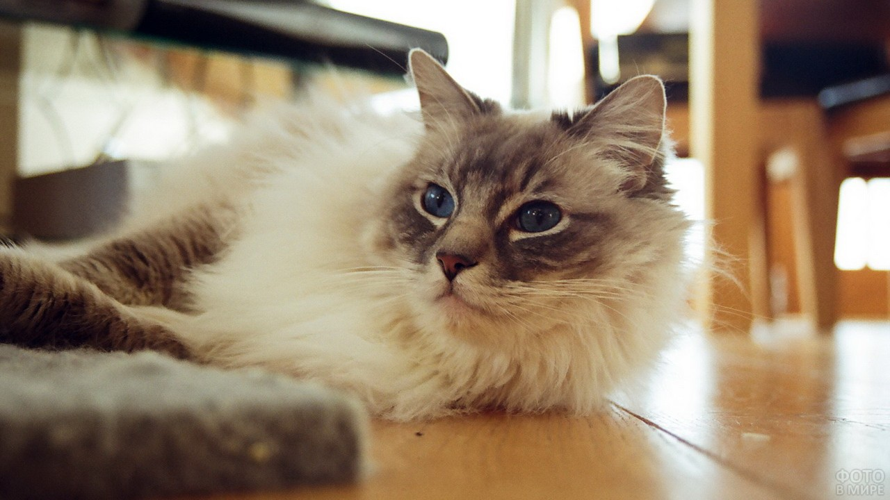 Породистая кошка развалилась на полу