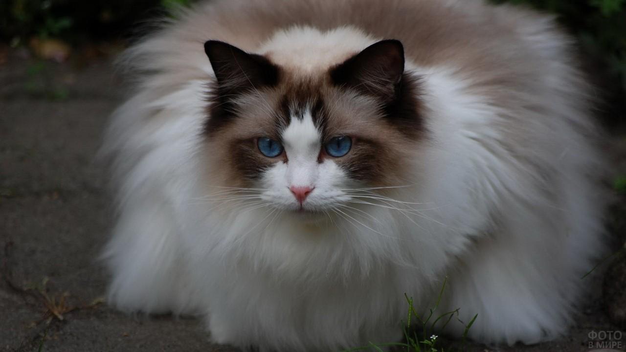Пушистая кошка на тротуаре