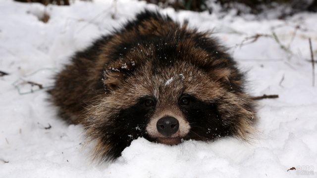 Енотовидная собака лежит в снегу