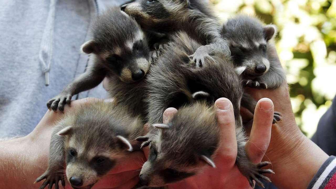 Много щенков уссурийской лисы в руках