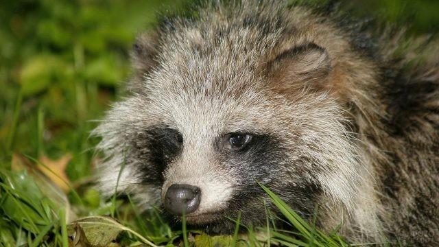 Настороженная енотовидная собака в траве