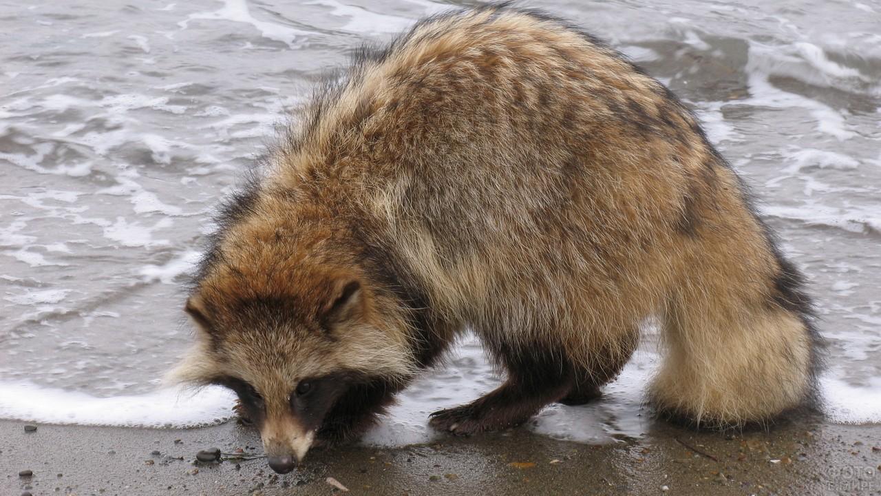 Скромная енотовидная собака на берегу водоёма