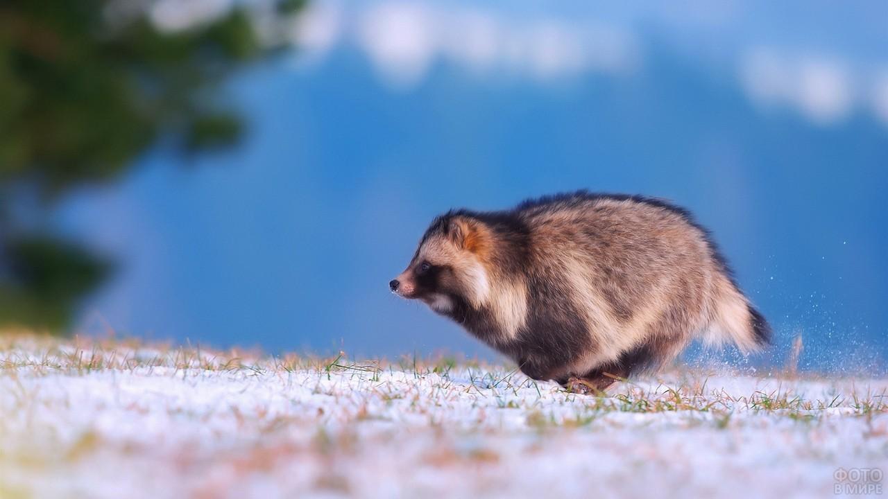 Стремительная енотка бежит по снегу