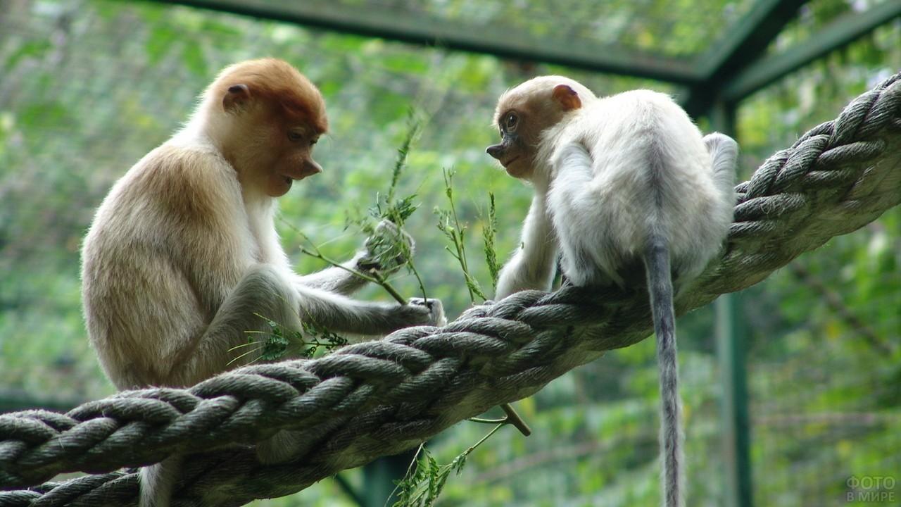 Две маленькие обезьянки носач сидят на канате