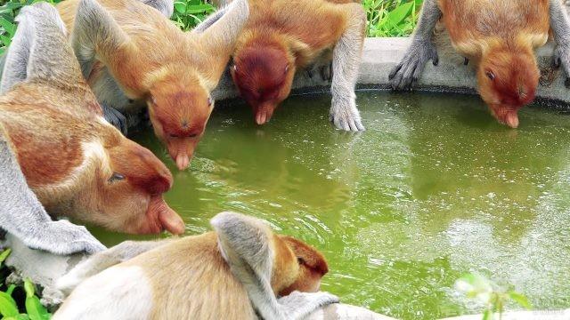 Компания обезьян пьёт воду
