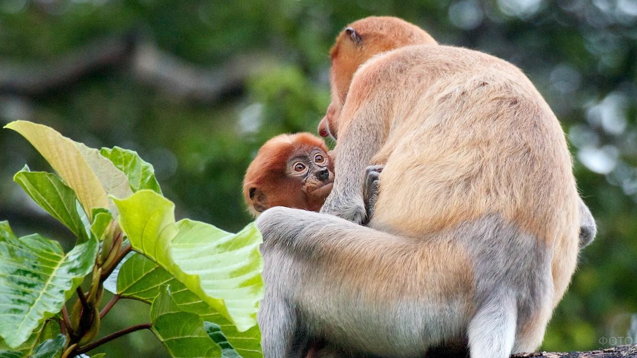 Мама носач держит своего малыша