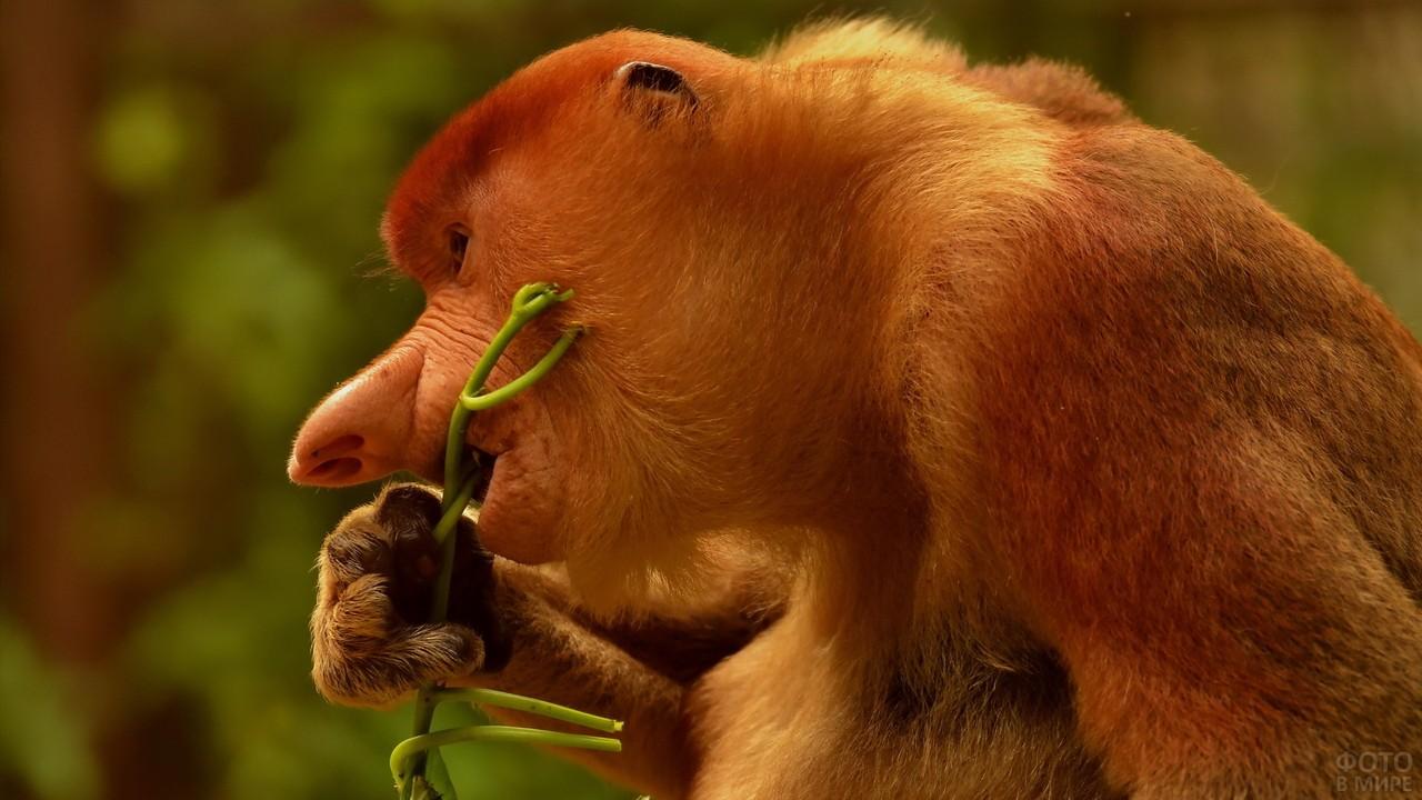 Обезьяна носач ест травинку