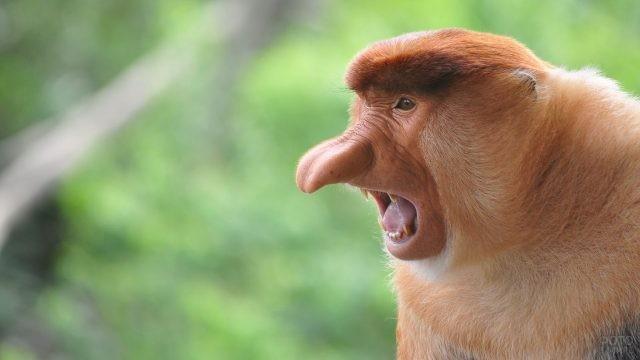 Обезьяна носач с открытым ртом