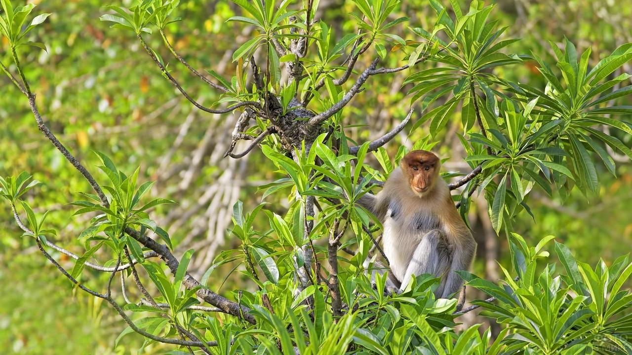 Обезьяна носач сидит на дереве