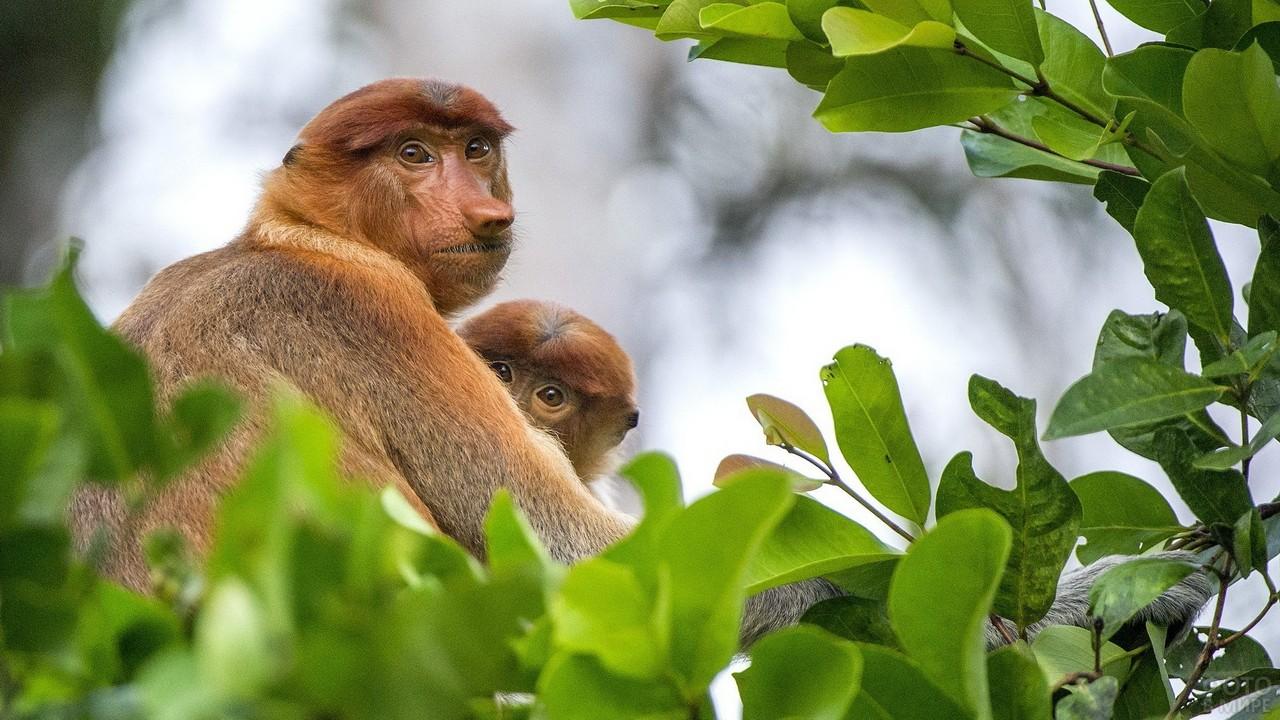 Одна обезьяна обнимает другую