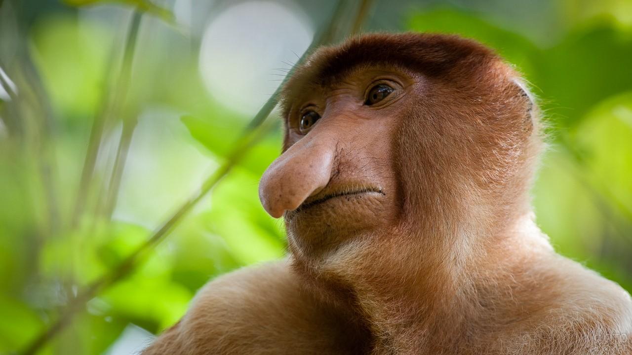Примат породы носач крупным планом