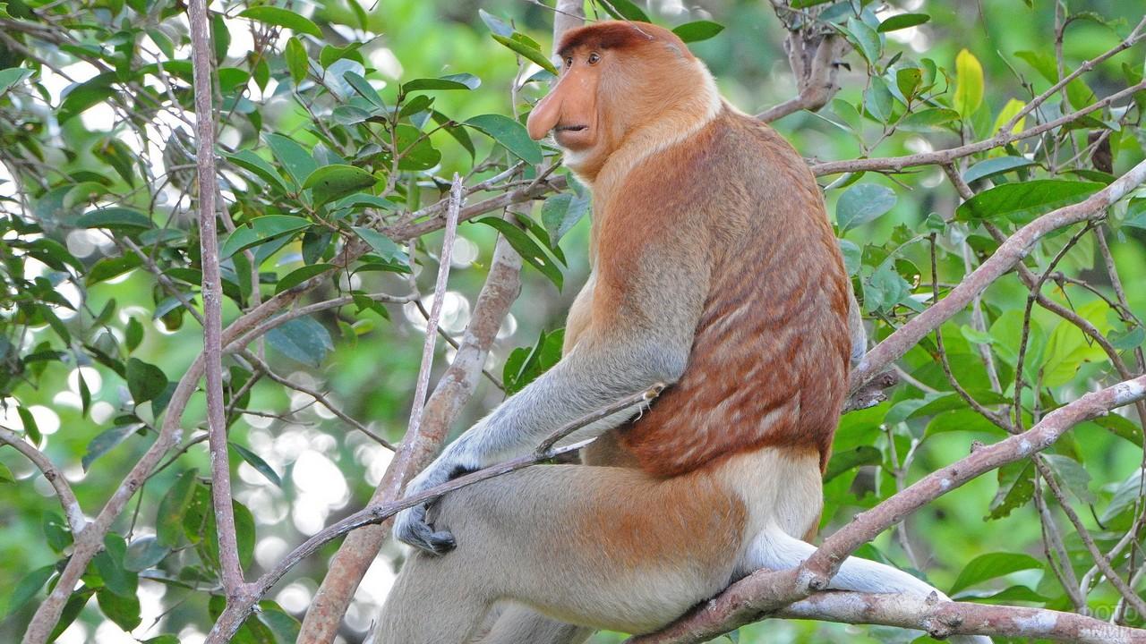 Примат породы носач сидит на ветках дерева
