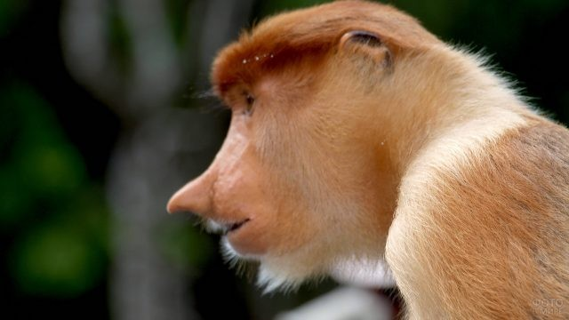 Профиль обезьяны породы носач