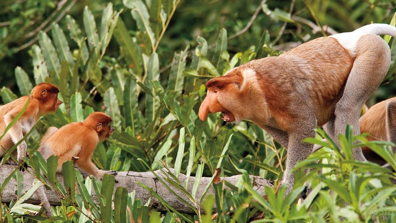 Взрослый носач рычит на малышей