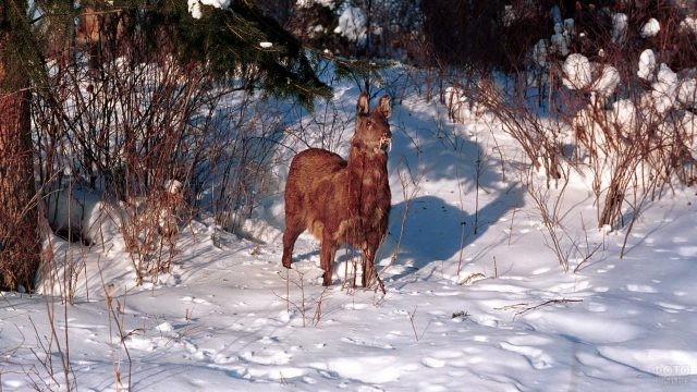 Кабарга стоит на снегу