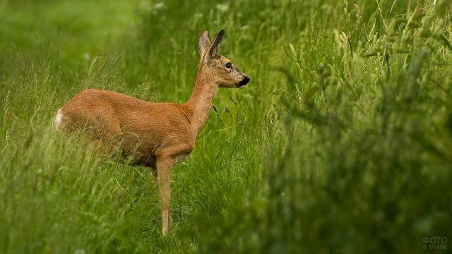 Кабарга стоит посреди высокой травы
