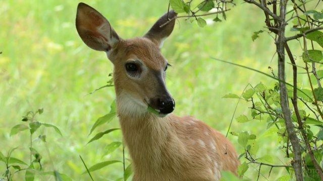 Молодая кабарга стоит на фоне травы
