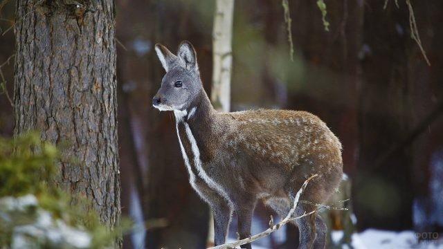 Пятнистая кабарга в лесу