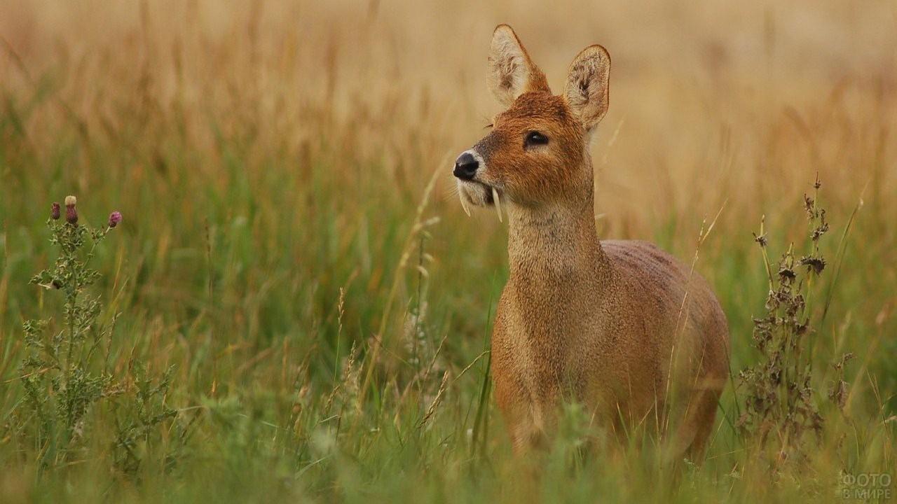 Рыжебрюхая кабарга стоит в траве