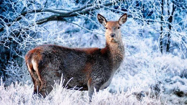 Самочка кабарги в зимнем лесу