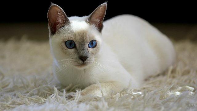 Белая тайская кошка на белом ковре