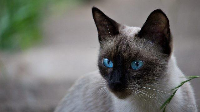 Голубоглазый кот на природе