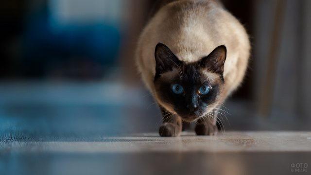 Кошка готовится атаковать