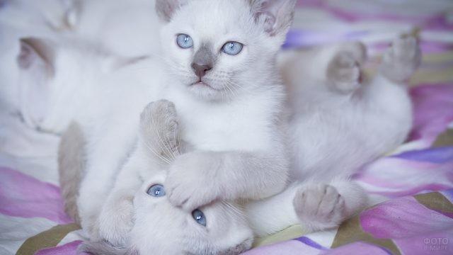 Котята окраса лайлак-пойнт играют