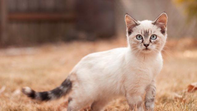 Котёнок тайской кошки окраса тэбби-пойнт