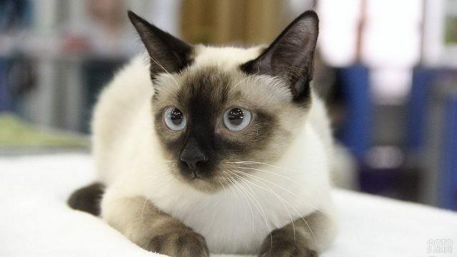 Настороженная кошка с голубыми глазами