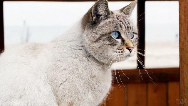 Окрас тэбби-пойнт у тайской кошки