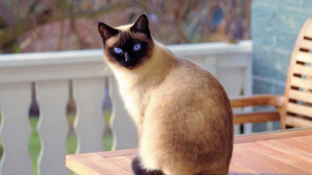 Породистая кошка на столе