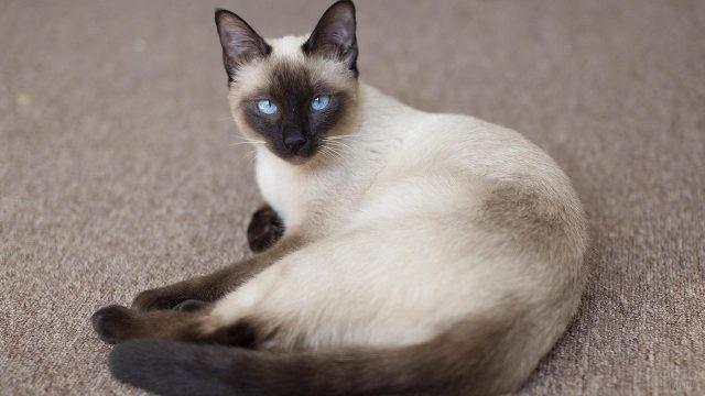 Прекрасный представитель тайской кошки