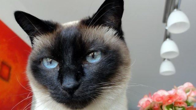 Пыльная мордочка тайской кошки