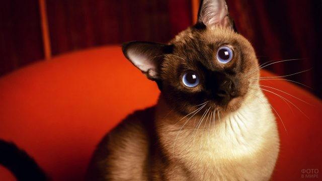 Тайская кошка на красном фоне