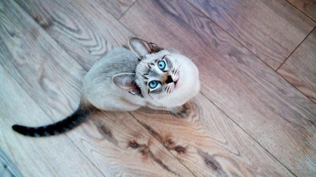 Тайская кошка смотрит вверх на ламинате