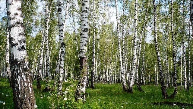 Берёзовая роща в Сибири