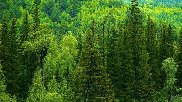 Хвойный лес в Сибири