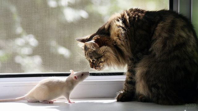 Белая мышь и кошка на подоконнике