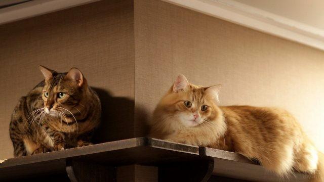 Домашние кошки на полках под потолком