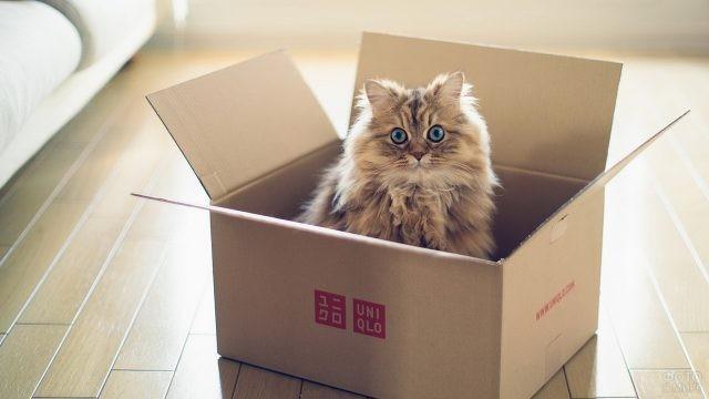 Кошка с голубыми глазами в коробке