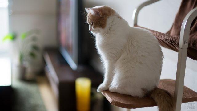 Рыже-белый кот на стульчике в комнате