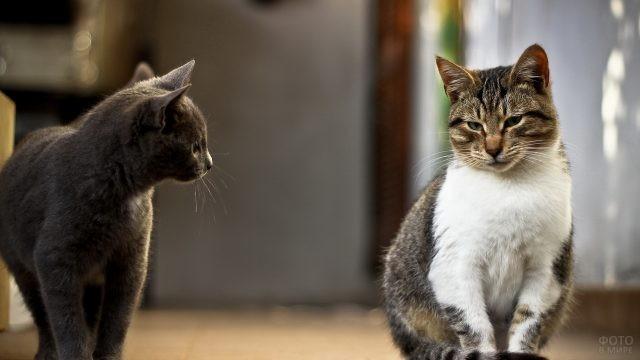 Серый кот смотрит на недовольного кота