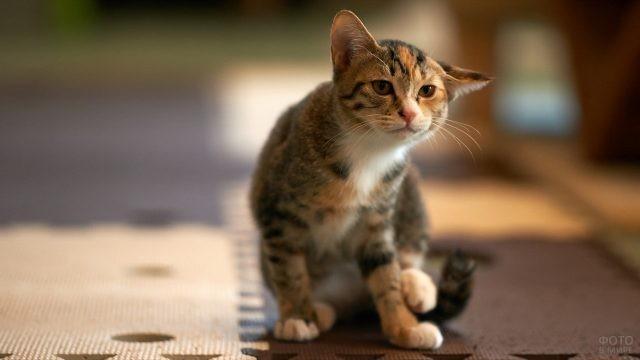 Трёхцветная кошка повернула ухо