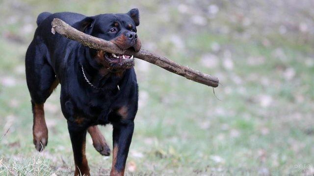 Дрессированный пёс несёт в зубах большую палку