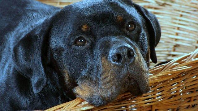 Грустная собака положила голову на край корзины