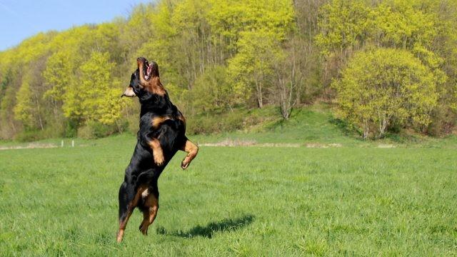 Игривая собака на задних лапах в прыжке на природе